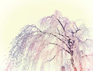 Cherry Blossom, Matsumoto
